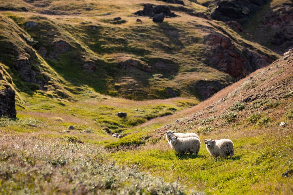 Three sheep looking at the photographer on the Inneruulalik farm