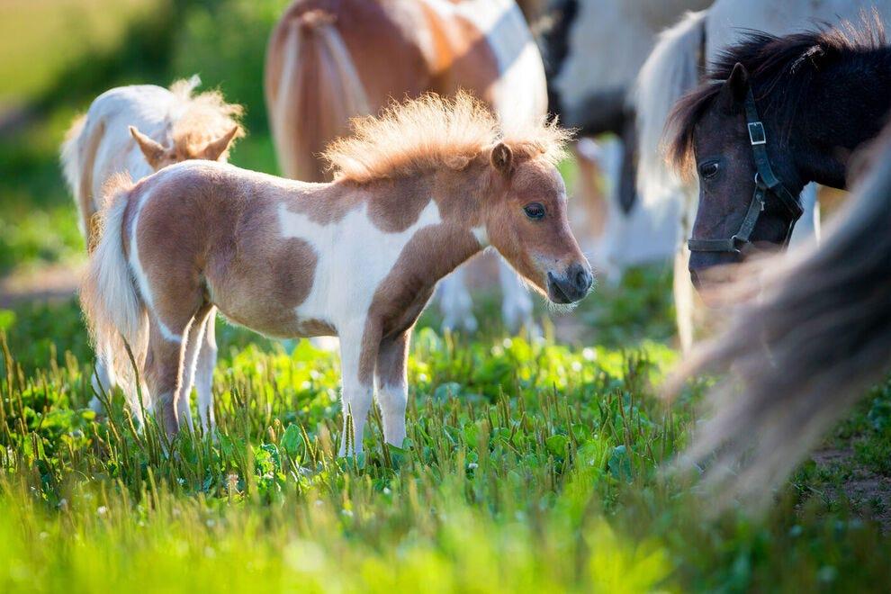 Mini horses in a pasture