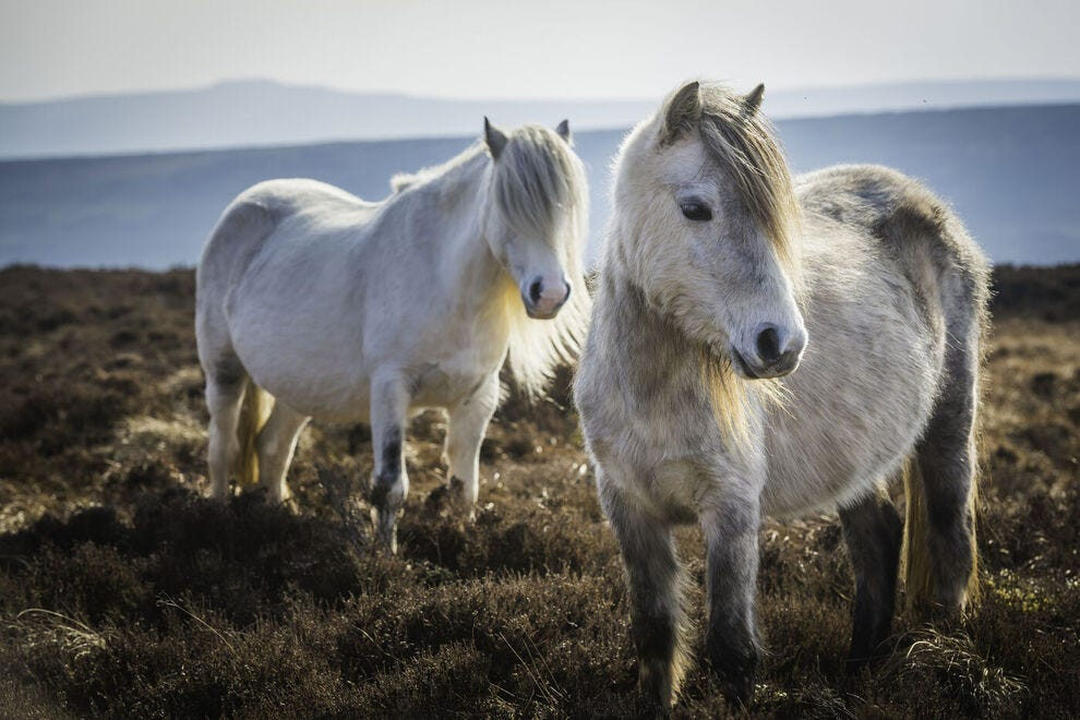 Welsh mountain ponies at Brecon Beacons National Park