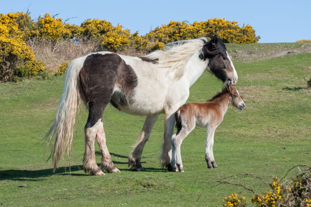 Welsh pony with newborn foal