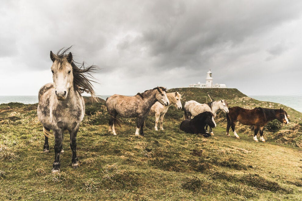 Welsh mountain ponies by a lighthouse