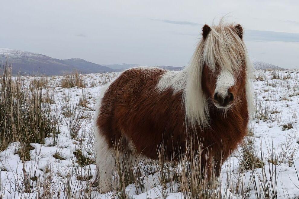 Shetland pony in snow